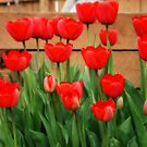 Tulips Of The Color Red by kkphoto1