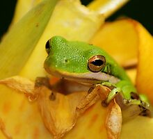 Green Tree Frog by explicitly
