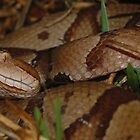 Southern Copperhead Snake  by Michael L Dye