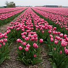 Just tulips by Rob Schoon