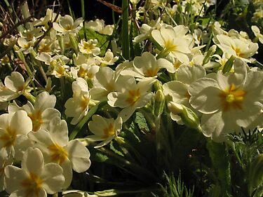 Primrose blooms by KMorral
