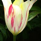 Glowing tulip by Maria1606