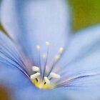 Flax (Linum usitatissimum) by M a r t a P h o t o g r a p h y