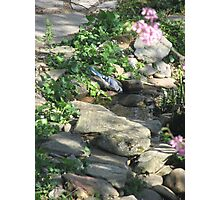 Warm Spring Morning - Blue Jay Sips Water  Photographic Print