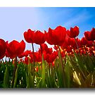 Spring in Holland  by John44
