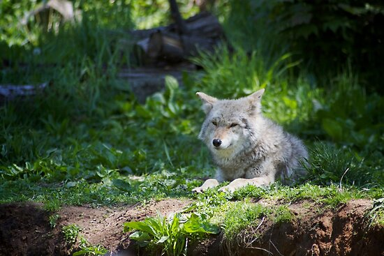 Lazy Timber Wolf by Greg Toope