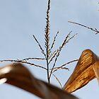 """""""Corn Angels""""- New Jasper Corn fields by Schutte14"""