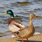THE  MALLARDS by Marie  Morrison