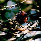 Apple in Tree by Schutte14