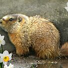 Marmot In Spring by digitalmidge