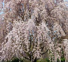 Weeping Cherry Blooms by clizzio
