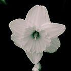 B&W 'warped' Daffodil by Schutte14