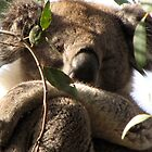 Awakened Werribee Gorge Koala by DianneLac