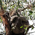 Sleepy Werribee Gorge Koala by DianneLac