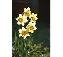 Sunny Daffodils Photographic Print
