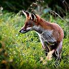 Red fox (vulpes vulpes) hunting along the banks of the river Trent, Trentham, Staffordshire, UK. by Steve Crompton
