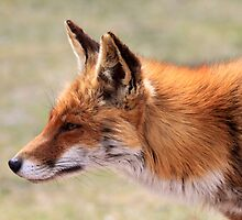 Fox_6218  by DutchLumix