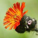 Orange Hawkweed by Teresa Zieba