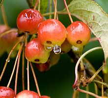 Wild Cherries by Stuart Robertson Reynolds