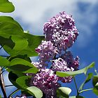 Lovely Lilac 2 by WalnutHill