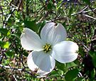 White Dogwood 1 by WalnutHill