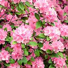 Beautiful RhododendronTree by Monica M. Scanlan