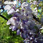 Wistful Wisteria 1 by WalnutHill