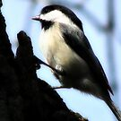 Black-capped Chickadee by shutterbug2010