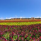 Wide view of Flower Field by Walt Conklin