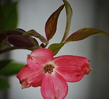 Pink Dogwood by Jonice