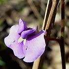 Native Hardenbergia. by Graeme  Hyde