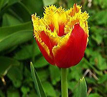 Tulip by ColinBoylett