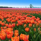 Tulipfields in Orange by ienemien