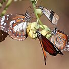 Orange Tiger Butterflies, Litchfield NP, Northern Territory, Australia by Adrian Paul