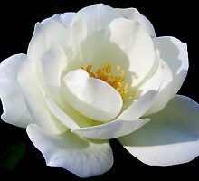 Garden Pleasures - White Iceberg Rose by Mariaan Maritz Krog Photo Art Studio