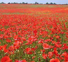Local poppy field by hjaynefoster