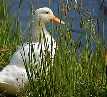 Pretty White Duck by Eve Parry