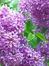 Lilacs After Rain by MarjorieB