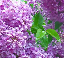 Lilacs After Rain by MarjorieB