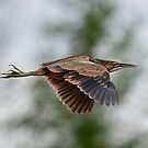 American Bittern in Flight - Ottawa, Ontario by Michael Cummings