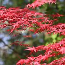 Reds of the Japanese Maple by Ajeet