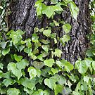 Ivyed Bark by Ajeet