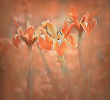 Peach Surprise by CarolM