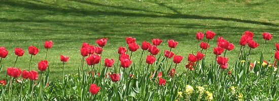 Red Tulip Parade in Chelmsford by MichelleRees