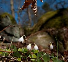 English Spring, Wood Sorrel by Billlee