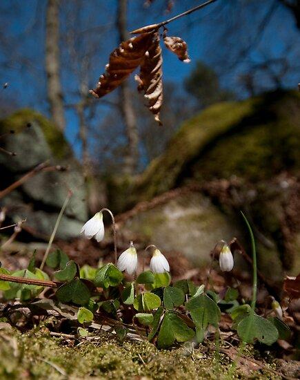 English Spring, Wood Sorrel by Billlee