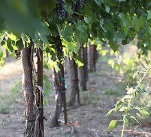Syrah vines - Maryhill, WA by shilohrachelle