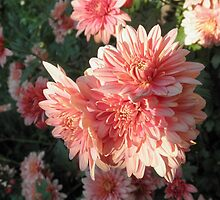 Mother's Day Chrysanthemums,Tumut,Australia. by kaysharp