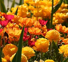 Bright Colours in the Garden by dulkeith