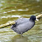coot  by Grandalf